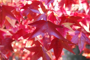 2015-11-26 red leaves